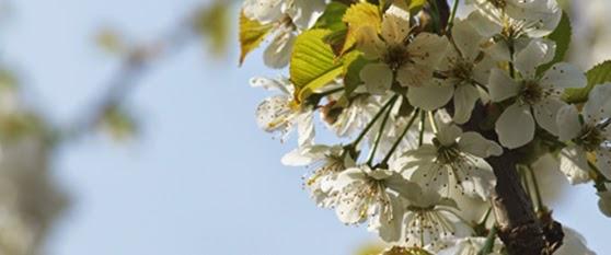 Blomstrende frugttræer i april