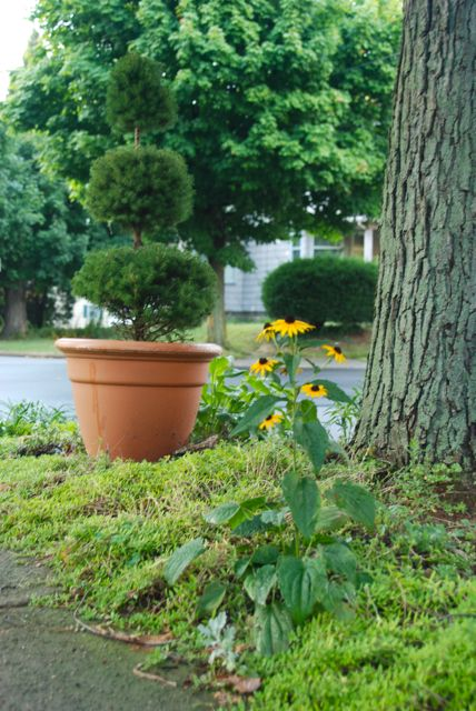 Photo of a stray black-eyed Susan (Rudbeckia) that seeded its self along the sidewalk in our Front Woodland curb. I moved this topiary pot up front to help gives this important corner view some interest while the flowers were all burnt to a crisp.