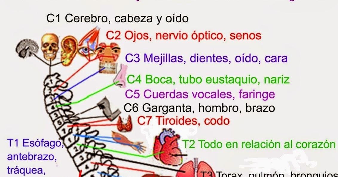 Moderno Anatomía Del Nervio Columna Vertebral Bosquejo - Anatomía de ...