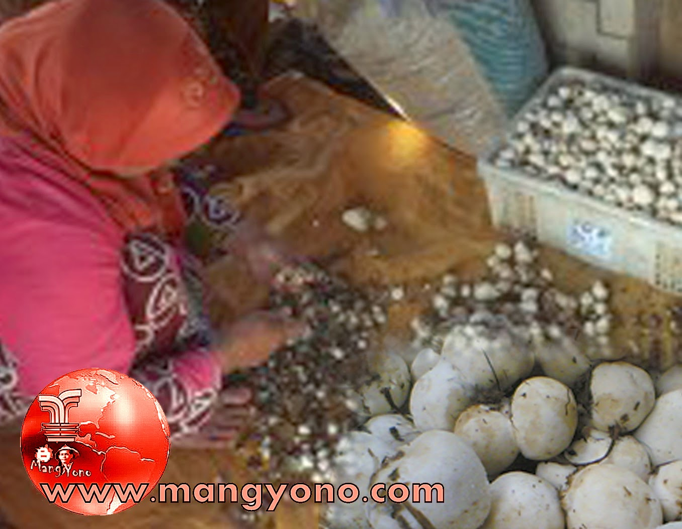 Jamur Merang di Dusun Kukulu, Desa Balingbing