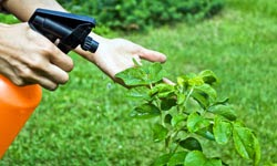 Si cultivas tus plantas correctamente, con su riego, su abono, luz suficiente, etc., estarán fuertes y vigorosas y serán mucho más resistentes a los ataques de plagas y enfermedades