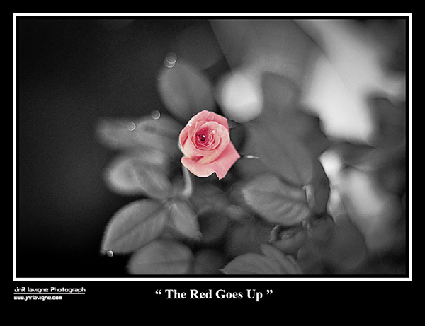 The Red Goes Up - Rose Black and White