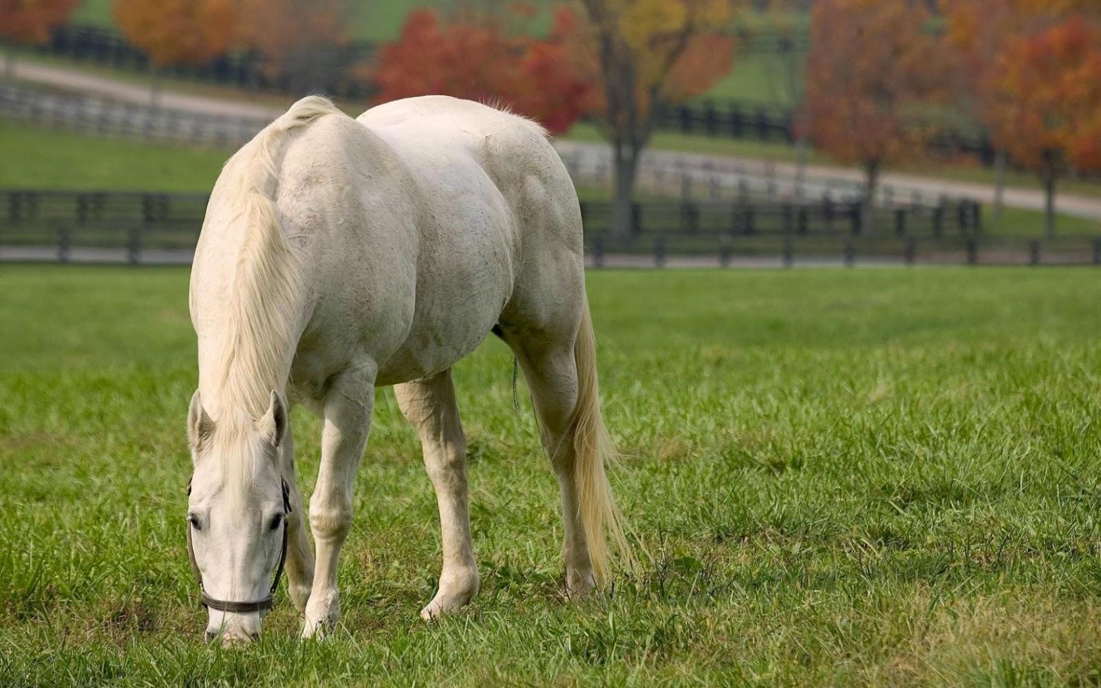 foto de caballo blanco en la hacienda