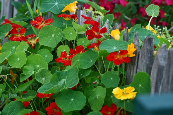 Nasturtiums how to grow