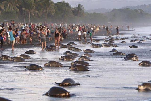 Rombongan Turis Ganggu Penyu Bertelur di Kosta Rika