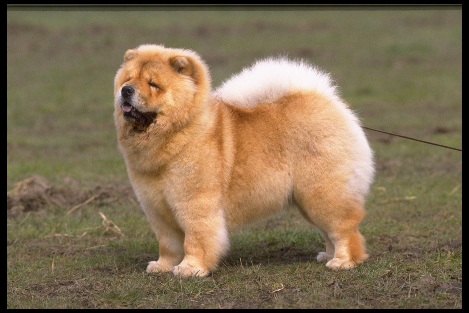 Chow chow beautiful puppy interesting facts animals lover - Images of chow chow puppies ...