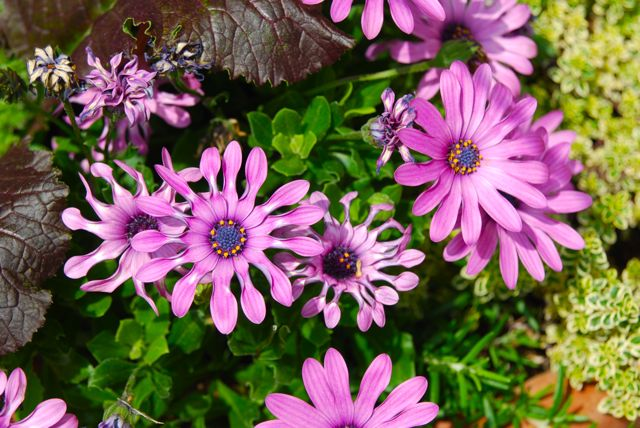 Osteospermum 'Whirligig' (purple form) was in many of the containers, along with variegated thyme and dark-leaved lettuce.