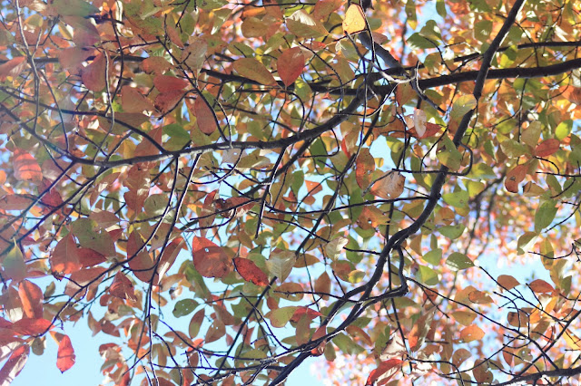 Underside of green and red autumn leaves