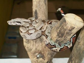 Boa constrictor (Tragavenados)