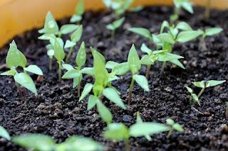 Brotinhos plantados de papel semente