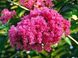 How to Plant and Grow Crepe Myrtles