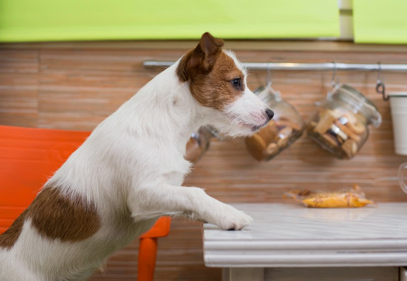 A JRT counter-surfing in the kitchen