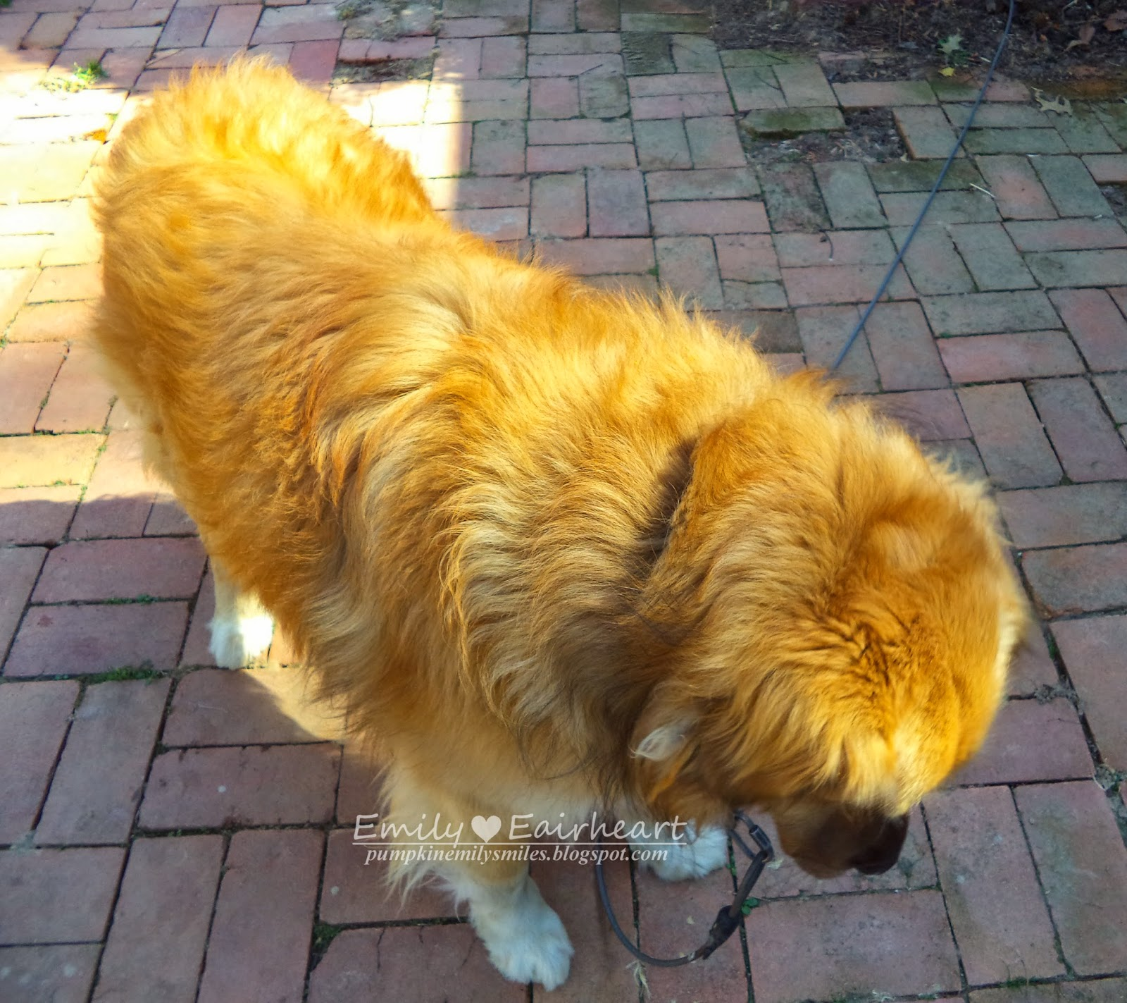 Rocky's golden fur. Golden Shepherd