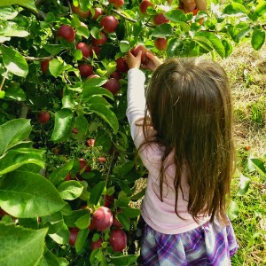Apple Picking at Massachusetts Orchard_New England Fall Events
