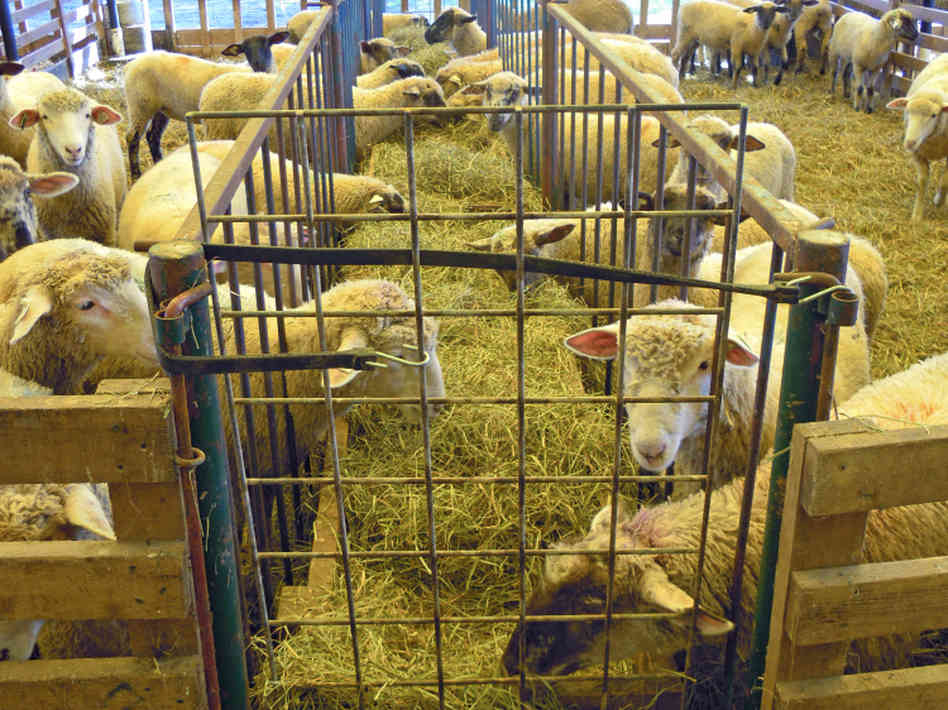Sheep Farming Modern amp Mixed System