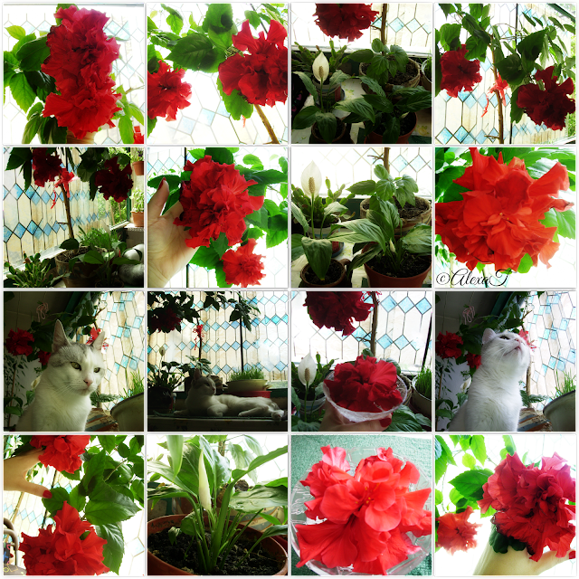 """Puiu & blossoms of red hibiscus. """"Hibiscus rosa-sinensis, known colloquially as Chinese hibiscus, China rose, Hawaiian hibiscus, and shoeblackplant, is a species of tropical hibiscus, a flowering plant in the Hibisceae tribe of the family Malvaceae, native to East Asia."""" read more to wikipedia"""