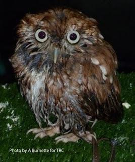 [wet owl]