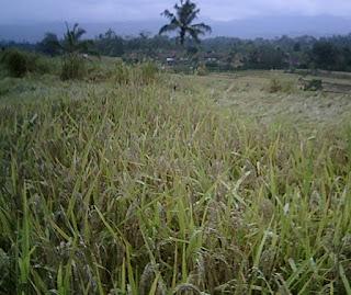 padi dan kulit padi