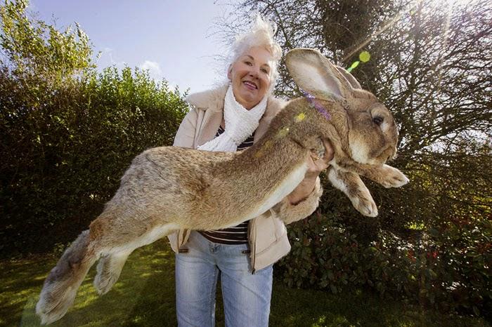 worlds biggest rabbit darius jeff