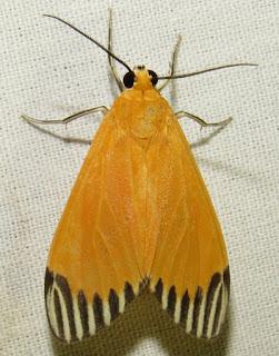 Uranophora walkeri, Erebidae, Arctiinae
