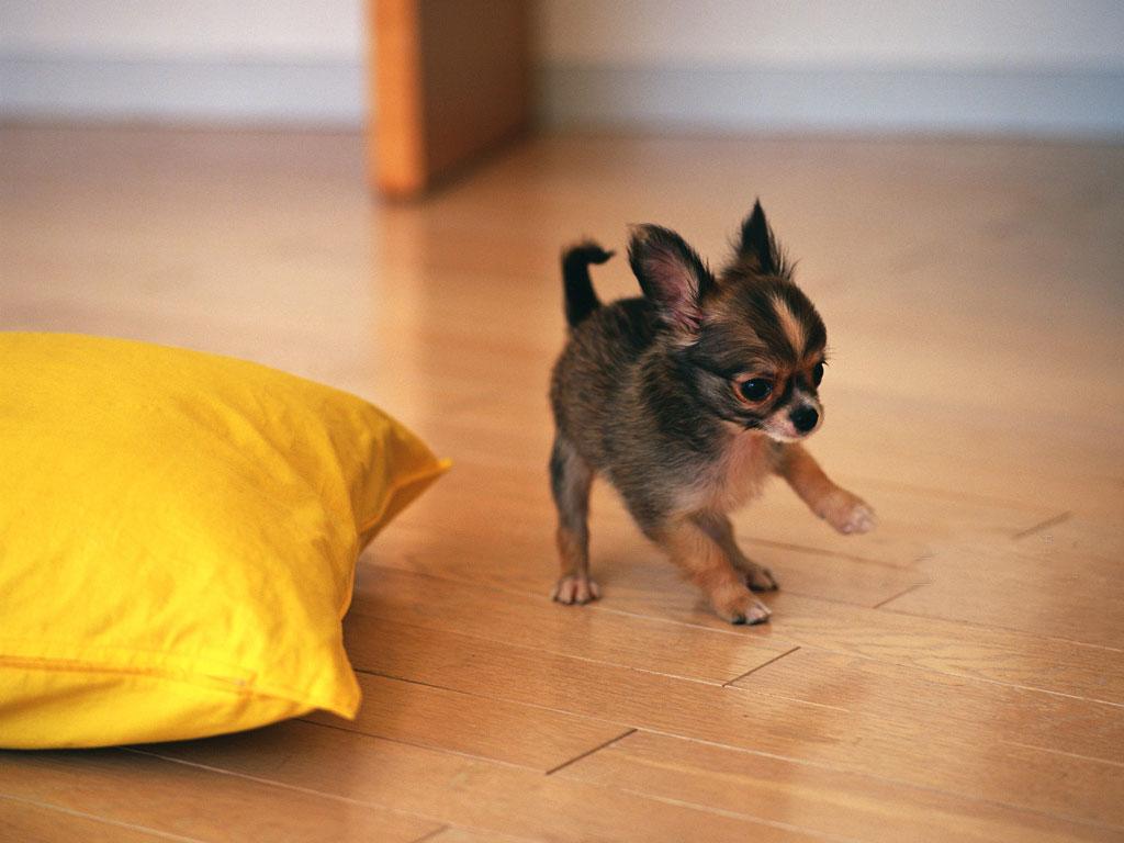Chiwawa Dog Training
