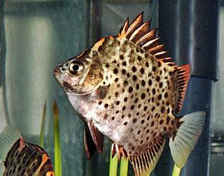 Mengenal Ikan Ruby Scat