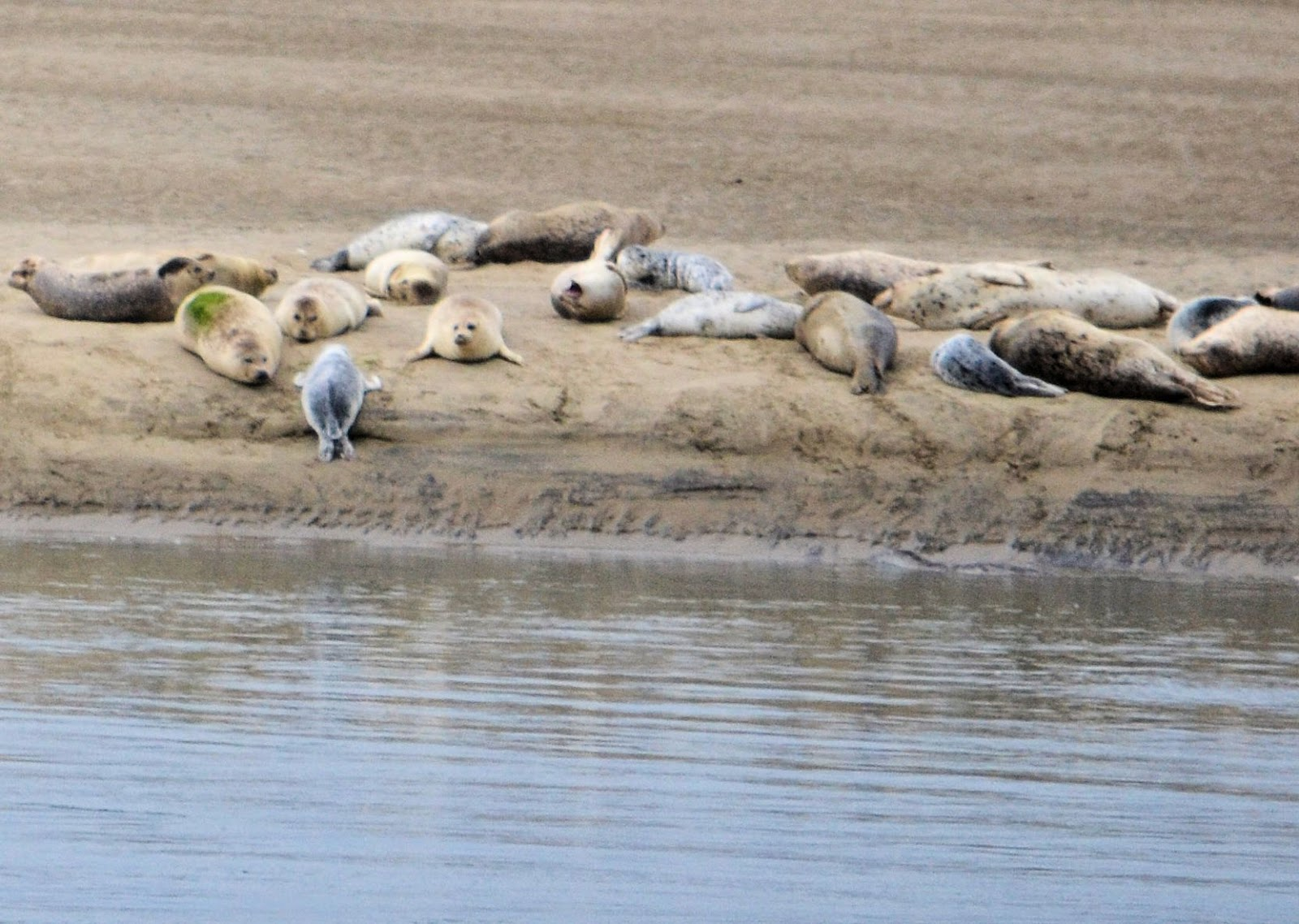 photo of seals at Netarts Oregon by Nancy Zavada