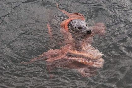 Pertarungan Sampai Mati Anjing Laut dan Gurita Raksasa