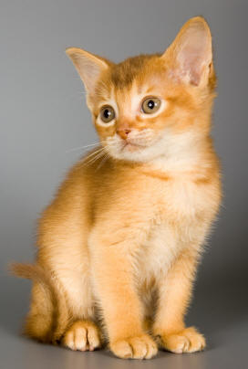 Abyssinian kittens Photography