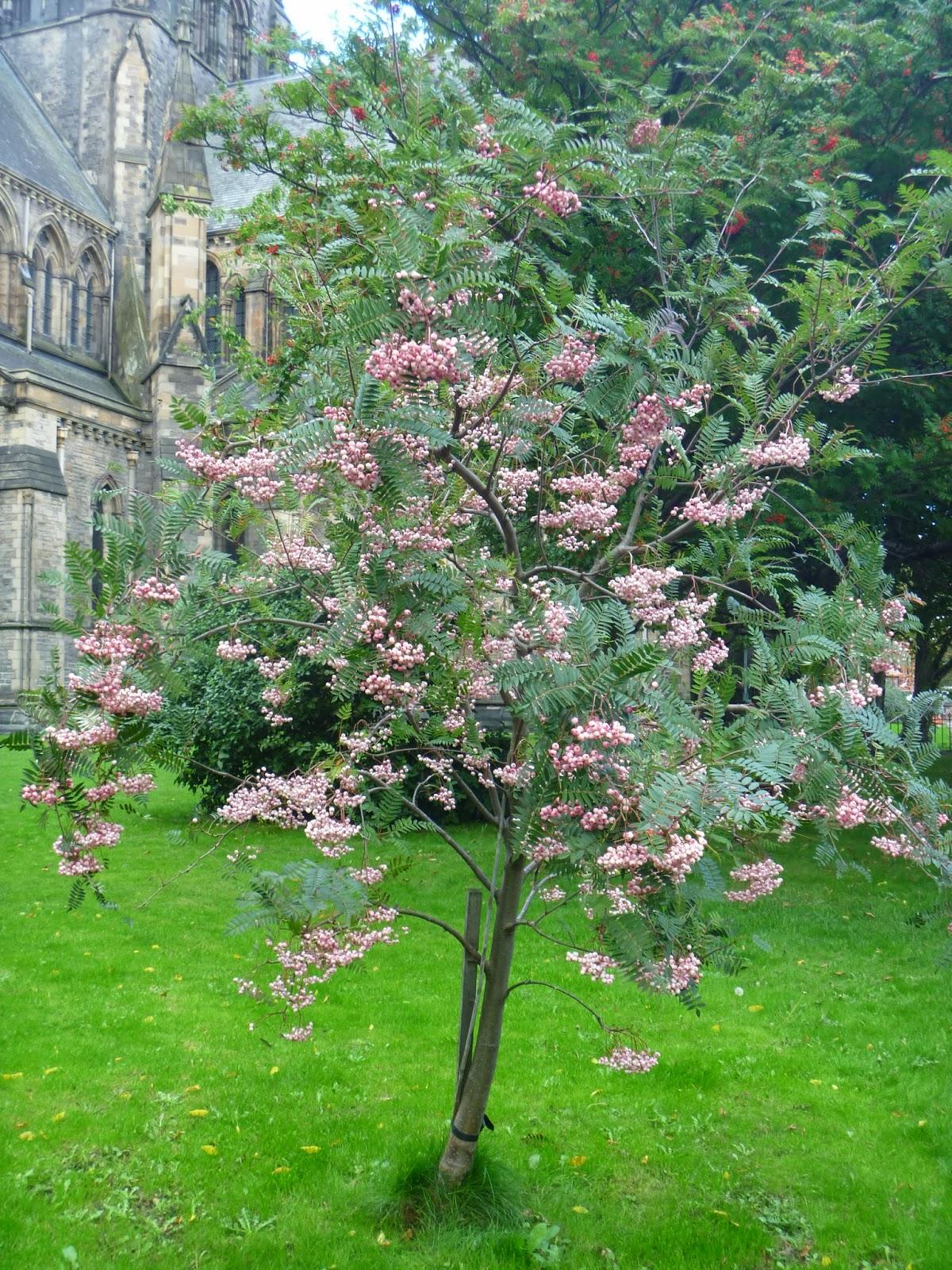 Crafty green poet rowan berries for Garden trees small