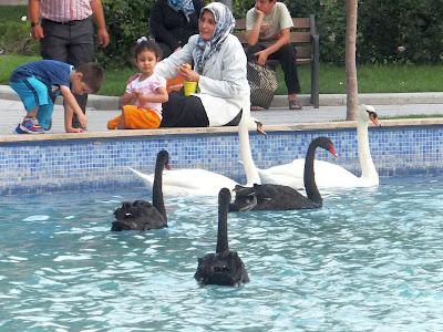 черные и белые лебеди в пруду парка