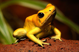 Poison Dart Frog Gold Yellow
