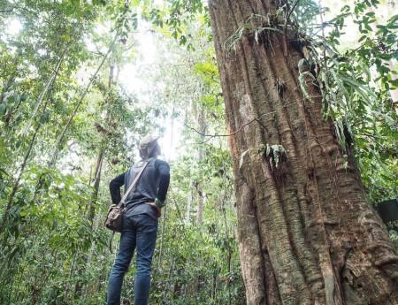 Pohon Ulin Terbesar di Dunia Ada di Taman Nasional Kutai