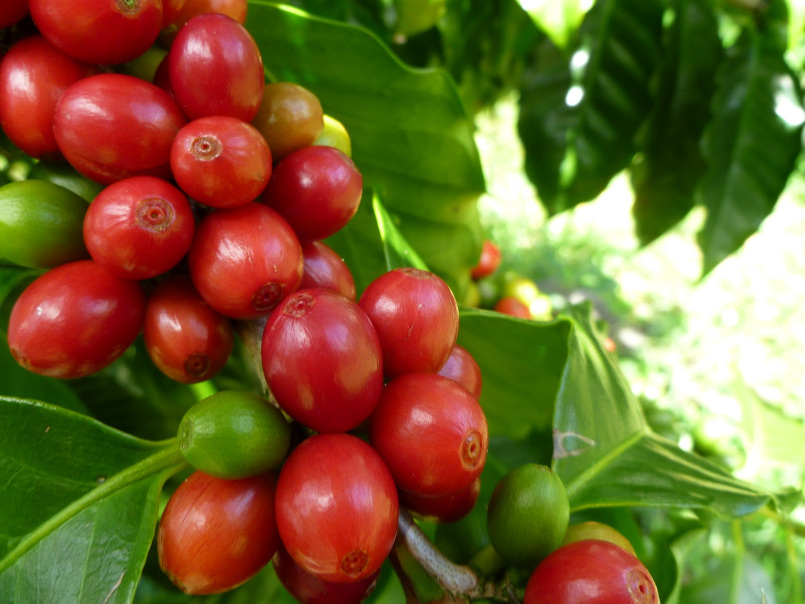 fruit processing diagram with Harvesting Coffee Cherries on 30 Amazing Benefits Of Moringa Oleifera likewise Overgewicht Obesitas further Pam Kernel Oil Vs Palm Oil furthermore Zywnosc also Logistics Software blogspot.
