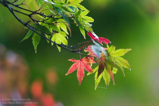 11月のまだ紅葉し切っていない紅葉の写真