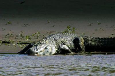 caiman negro alvino del orinoco blanco cocodrilo