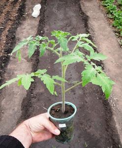 Рассада помидоров без пикировки