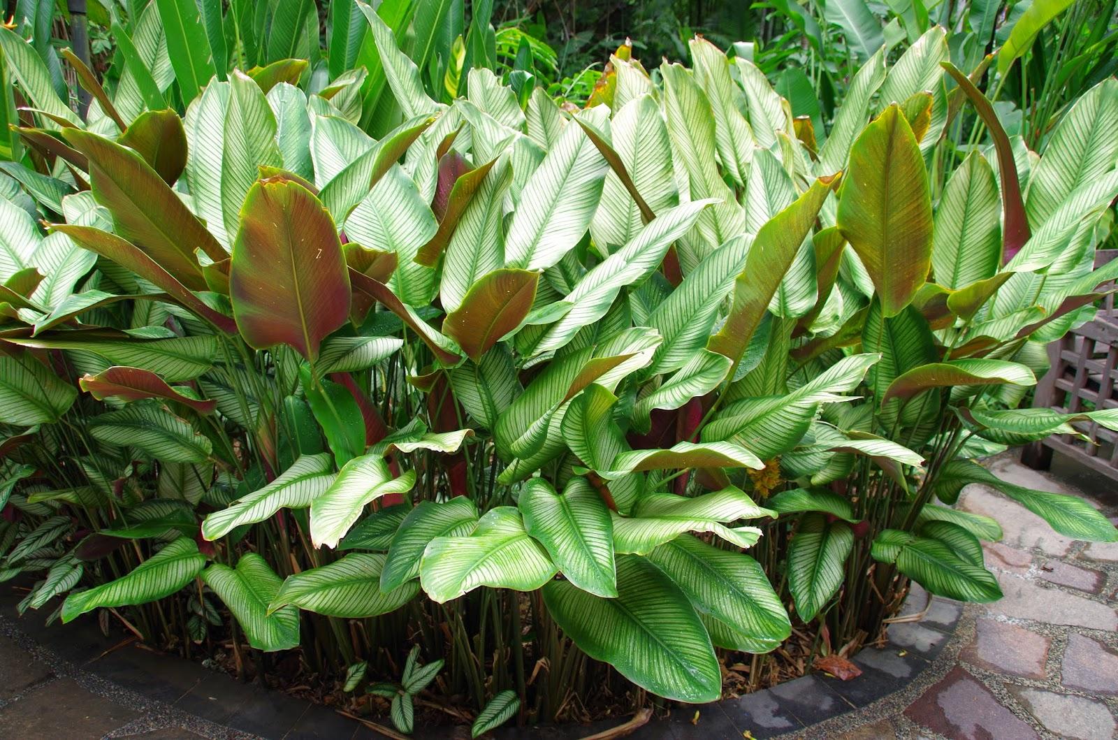 Trees and plants pin strip plant prayer plant maranta for Prayer palm plant
