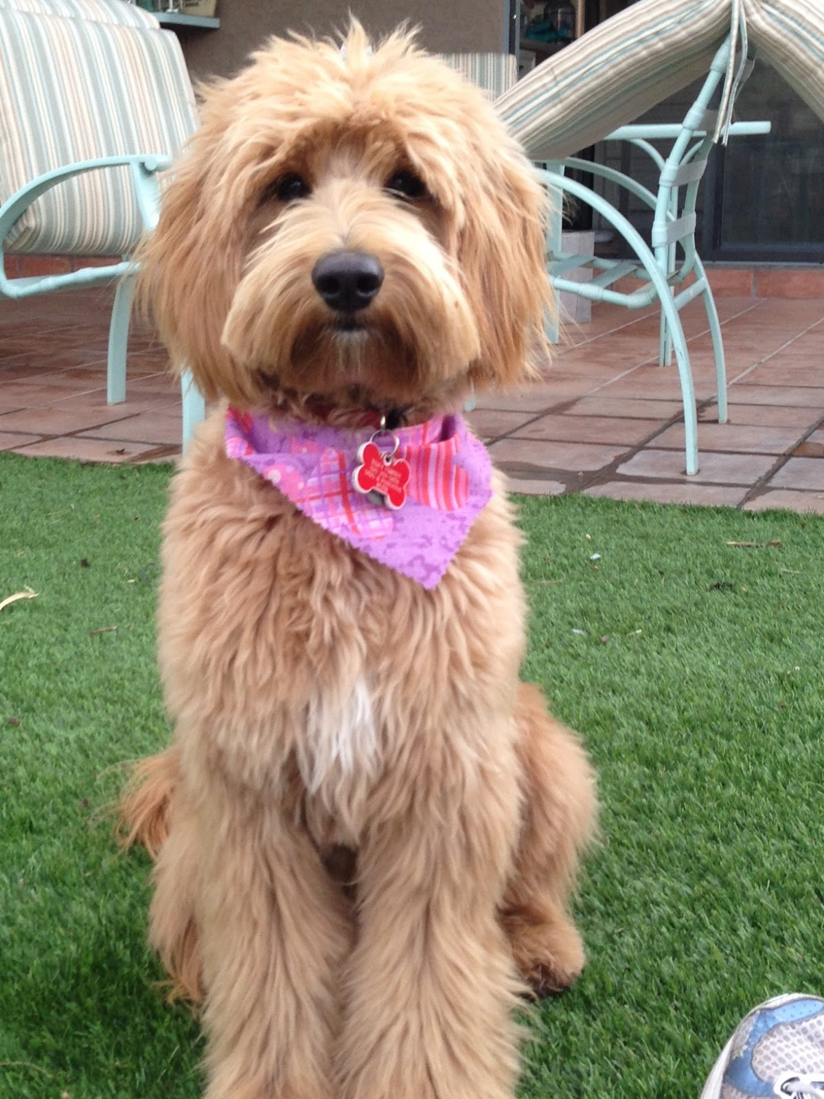 GROOMING NEEDS OF THE AUSTRALIAN LABRADOODLE