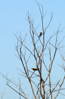 Woodpecker (top) and Golden Oriole