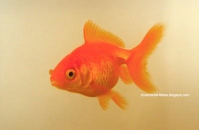 Fantail Goldfish 4