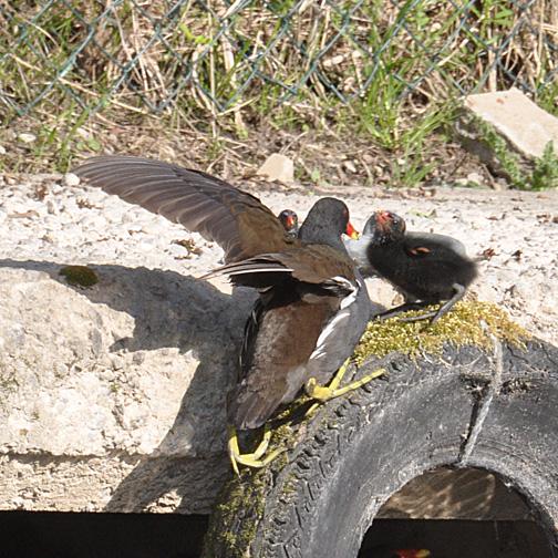 adult moorhens feeding chicks