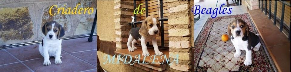 Criadero de Beagles MIDALENA