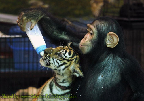 Waaww...ada seekor Kera sedang menyusui anak Harimau ....!!