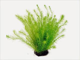 gambar-Mayaca-Fluviatilis-tanaman-stem-aquascape
