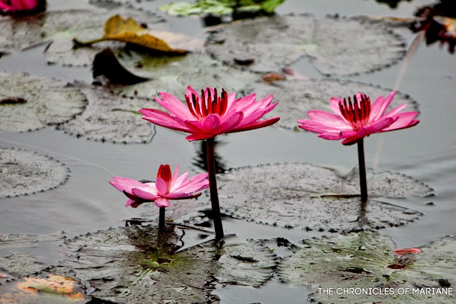 lake seloton lotus flowers