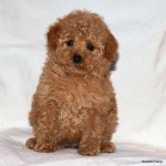 Poodle Puppy Litters Arriving SoonApricot Standard Poodle Puppy Cut