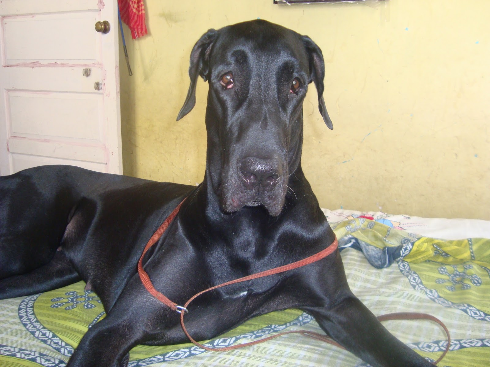 My personal experience with great dane zidane the harlequin great dane zidane my harlequin great dane came to our life in 2007 when he came he was about 34 days old at the beginning i was fascinated by the giant size of great geenschuldenfo Image collections