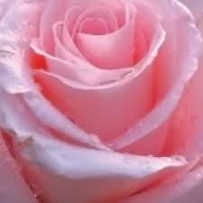 Rose essential oil uses in fengshui