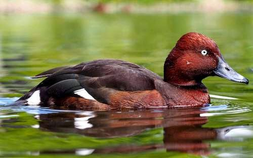 Indian birds - Ferruginous duck - Aythya nyroca
